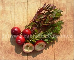 Brusinka MC FARLIN - vaccinium macrocarpon