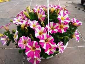 Petunie v závěsném květináči K25- výprodej