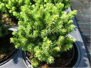 Smrk sivý - Picea glauca ALBERTA GLOBE, C 2 l