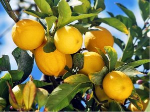 Citroník GENOA - roubovaný