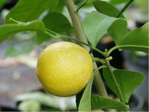 Citroník DOUX DE MEDITERANEE - roubovaný