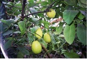 Citroník DORSHAPO - roubovaný