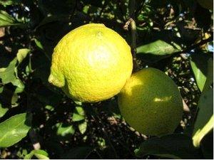 Citroník SICILY - roubovaný