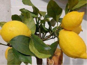 Citrus LIMONE v květináči P35