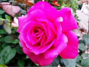 Růže LILA WUNDER - velkokvětá, fialovorůžová