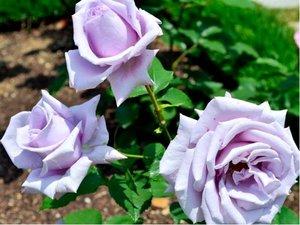 Růže WIOLETTA - velkokvětá, světle fialová