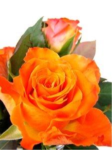Růže AMERYKANKA - velkokvětá, jasně oranžová
