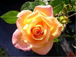 Růže CHICAGO PEACE - velkokvětá, žlutorůžová