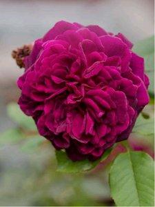 Růže WIOLETTA - pnoucí, fialová