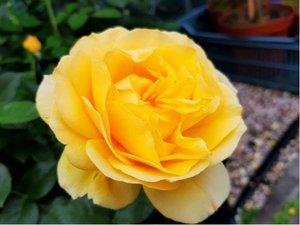 Růže ABSOLUTELLI - polyantka, žlutá v kontejneru