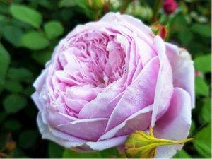 Růže SPIRIT OF FREEDOM - pnoucí, světle růžová v kontejneru