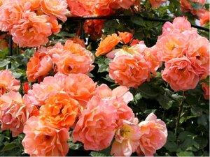 Růže GRAHAM - sadová, meruňková