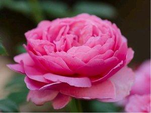 Růže ALAN TITCHMARSH - sadová, růžová
