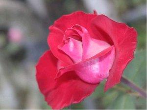 Růže MELODINA - velkokvětá, růžovočervená