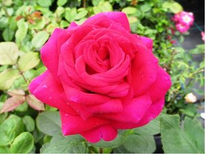 Růže PURPLE ROSE - velkokvětá, fialová