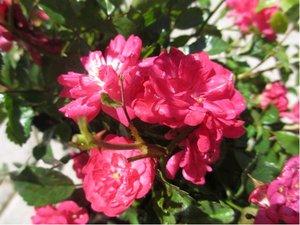 Růže RED FAIRY - půdopokryvná, červená