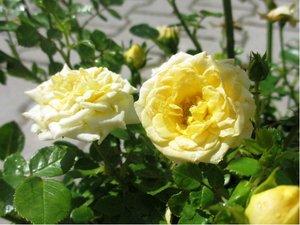 Růže SOLEMIO - půdopokryvná, žlutá