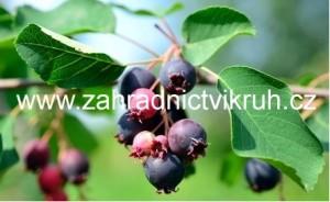 Amelanchier Krasnojarskaja - Muchovník