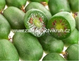 Kiwi ARGUTA - p�r