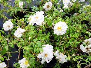 Růže SEA FOAM - půdopokryvná, bílá