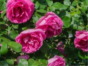 Růže SOPHIS ROSE - anglická, fialová