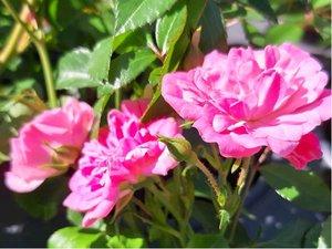 Růže PINK SWANY - půdopokryvná, růžová