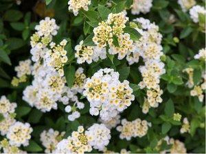 Lantana montevidensis alba - bílá