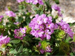 Lantana montevidensis - fialová