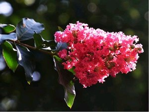 Pukol - Lagerstroemia indica DOUBLE FEATURE®Whit IX