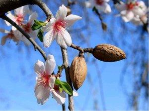 Mandloň - semenáč - balená