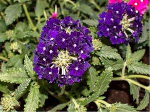 Verbena velkokvětá Lascar® Black Velvet - tmavě fialová