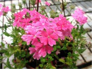 Verbena převislá Lascar® Pink 13 - růžová