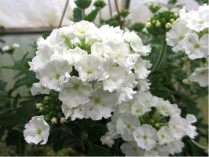 Verbena převislá Lascar® White 15 - bílá