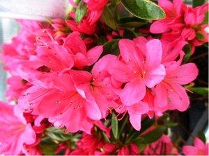 """Azalka japonská """"Anne Frank"""" - růžová"""