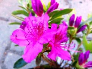 Azalka japonská - Azalea KÖNIGSTEIN - purpurová