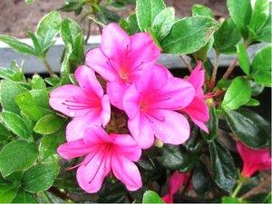 Azalka japonská GEISHA PURPLE - růžovofialová