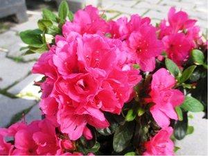 Azalka japonská KERMESINA - růžová