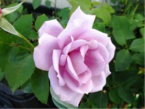 Růže INNOVA - velkokvětá, světle růžovofialová