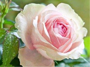 Růže SWEET PARADE - velkokvětá, světle růžová