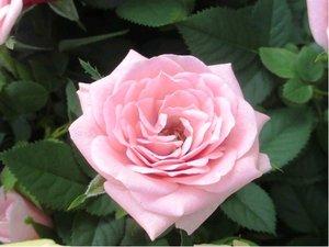 Růže ELIZABETKA - velkokvětá, světle růžová