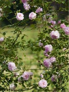 Růže NEW DAWN - pnoucí, růžová v kontejneru