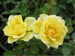 Růže MAIGOLD - pnoucí, žlutá