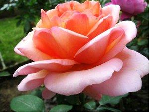 Růže JANINA - velkokvětá, lososově růžová