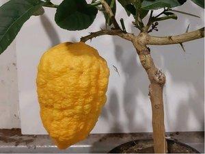 Obří citrus CEDRO v květináči P20