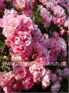 Růže sadová MARY ROSE - růžová