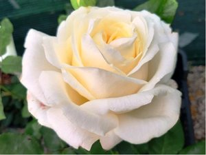 Růže CHOPIN - velkokvětá, bílá