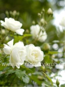 Růže pnoucí ICEBERG - bílá