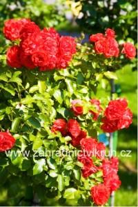 Růže pnoucí SANTANA - červená
