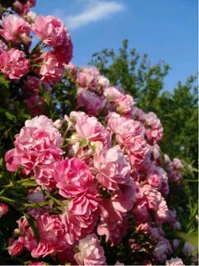 Růže pnoucí ROSARIUM UETERSEN - sytě růžová