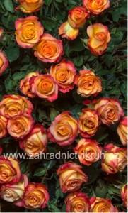 Růže polyantka RUMBA - oranžovožlutá